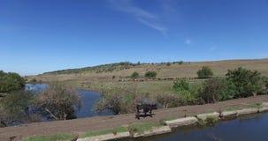 Mucche di una latteria che pascono sui campi di un'azienda agricola archivi video