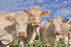 Mucche dietro filo Fotografia Stock