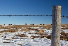 Mucche dietro un vecchio recinto del filo spinato, Alberta Cana Fotografia Stock
