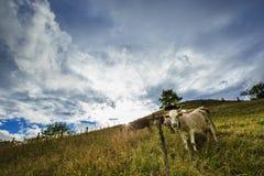 Mucche divertenti Immagine Stock