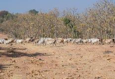 Mucche domestiche nella foresta fotografia stock libera da diritti