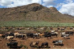 Mucche e bestiame in Tanzania immagini stock libere da diritti