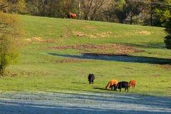 Mucche e bestiame in un pascolo fotografia stock libera da diritti