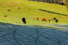 Mucche e bestiame in un pascolo fotografie stock