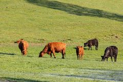 Mucche e bestiame in un pascolo fotografia stock