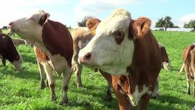 Mucche e calfs sul prato stock footage