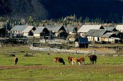 Mucche e casa di campagna Fotografia Stock