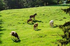 Mucche e cavalli Fotografia Stock