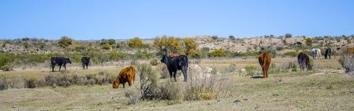 Mucche e cavalli Fotografia Stock Libera da Diritti
