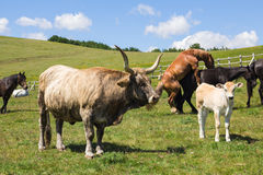 Mucche e cavalli Immagine Stock