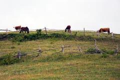 Mucche e cavalli sul pascolo nel rumeno Banat Fotografie Stock Libere da Diritti