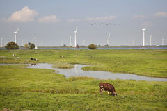 Mucche e generatori eolici vicino a Spakenburg in Olanda Fotografia Stock