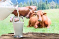 Mucche e latte di versamento Fotografia Stock