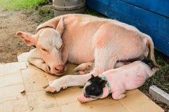 Mucche e maiali Fotografia Stock Libera da Diritti