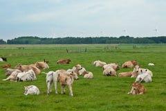 Mucche e mulino a vento nel terreno coltivabile dell'Olanda fotografia stock libera da diritti