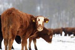 Mucche e neve Fotografia Stock