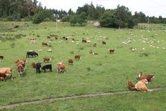 Mucche e pecore Fotografia Stock Libera da Diritti