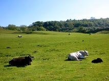Mucche e pecore nel campo Immagini Stock