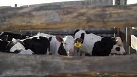 Mucche e tori in penne un giorno soleggiato immagine stock