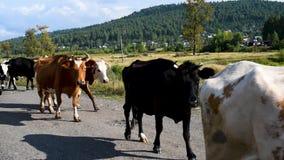Mucche e tori un giorno di estate nella venuta dell'aria fresca stock footage