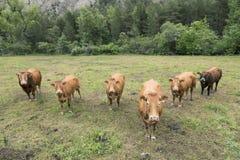 Mucche e toro del Limosino nel prato della campagna di Alta Provenza in Francia Fotografia Stock