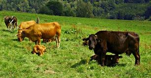 Mucche e vitelli Fotografie Stock