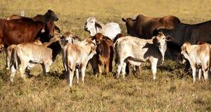 Mucche e vitelli Fotografia Stock