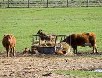 Mucche e vitelli Immagini Stock
