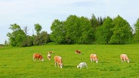 Mucche e vitelli che pascono archivi video