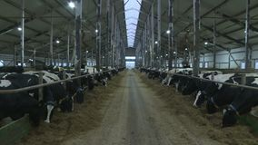 Mucche e vitelli su un allevamento stock footage