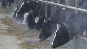 Mucche e vitelli su un allevamento video d archivio