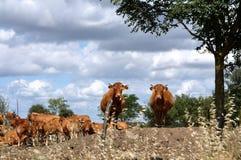 Mucche e vitelli sul pascolo immagine stock