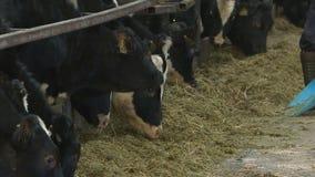 Mucche e vitelli sulla fattoria degli animali archivi video