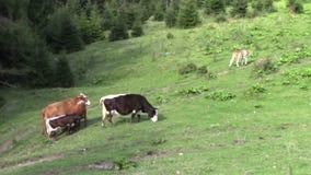 Mucche e vitello stock footage