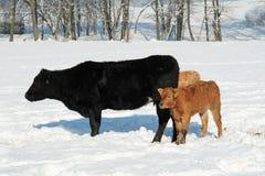 Mucche e vitello Fotografia Stock Libera da Diritti
