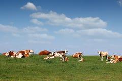 Mucche e vitello Fotografie Stock