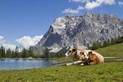 mucche e Zugspitze fotografia stock