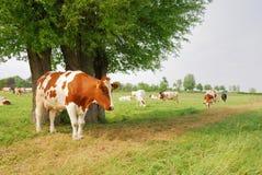 Mucche ed albero fotografia stock