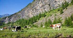Mucche ed alpi italiane Immagini Stock Libere da Diritti