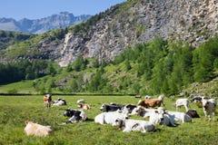 Mucche ed alpi italiane Immagine Stock Libera da Diritti