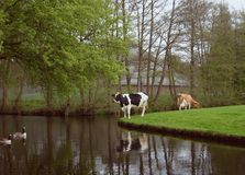 mucche ed anatre Immagine Stock Libera da Diritti