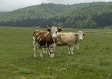 Mucche ed animali da allevamento che pascono nel prato Immagine Stock