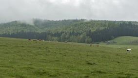 Mucche ed animali da allevamento che pascono nel prato Fotografie Stock Libere da Diritti