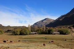 Mucche ed azienda agricola su un campo in Argentina Fotografia Stock