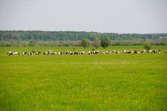 Mucche ed erba immagine stock libera da diritti