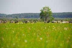 Mucche ed erba immagini stock libere da diritti