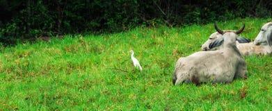 Mucche ed uccelli fotografia stock