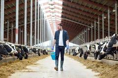 Mucche ed uomo con il secchio di fieno che cammina all'azienda agricola Immagine Stock