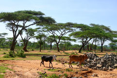 Mucche etiopiche in natura. Natura del paesaggio. L'Africa, Etiopia. Fotografia Stock Libera da Diritti