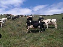 Mucche felici fotografia stock libera da diritti